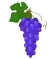 cluster of dark blue grapes vector image