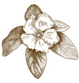 engraving quince flower vector image