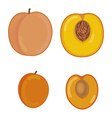 Peach and apricot in a section vector image