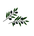 two olives branches greek olives branch set vector image