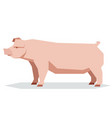 flat geometric chester white pig vector image vector image