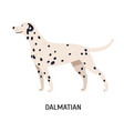 dalmatian gorgeous funny purebred dog isolated on vector image