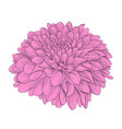 beautiful flower dahlia isolated on background vector image vector image