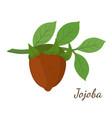cartoon jojoba branchsimmondsia chinensis vector image vector image