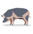 flat geometric ossabaw island pig vector image vector image