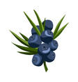 hand drawn branch blueberry berries with leaves vector image