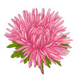 beautiful aster isolated on white background vector image vector image