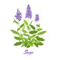 flowering sage herb vector image vector image