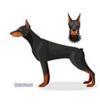 gorgeous doberman with dark smooth fur stands in vector image vector image