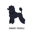 dwarf or miniature poodle small purebred vector image vector image