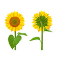 sunflowers realistic summer botanical floral vector image vector image