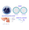 male reproductive system vector image vector image