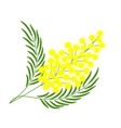 branch of mimosa for gift on march 8 isolate vector image vector image