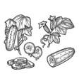 cucumber hand drawn sketch vector image vector image