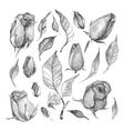 Roses Botanical set vector image vector image