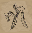 hand drawn sketch peas with leafs farm fresh vector image vector image