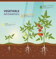 tomato infographic for growing stages vector image vector image