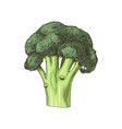hand drawn broccoli isolated on white background vector image vector image