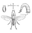 onion fly larva and pupa vintage vector image vector image