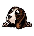 beagle - color peeking dogs - breed face head vector image vector image