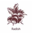 radish hand drawn sketch detailed organic product vector image vector image