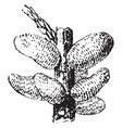juniper twig attacked by gymnosporangium vintage vector image