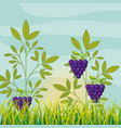 agriculture vineyard with ripe grapes vector image