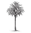 common date palm vintage vector image vector image