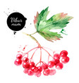 watercolor viburnum berries painted isolated vector image vector image