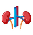 Close up diagram of kidney vector image vector image
