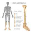 lower leg bone anatomy vector image vector image
