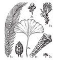 cycadaceae and ginkogoaceae vintage vector image