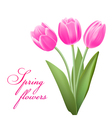 pink tulips in spring vector image