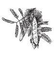 albizzia lebbek vintage vector image vector image