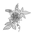 drawing passion flower vector image vector image