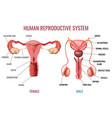 realistic human reproductive system vector image vector image