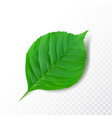 detailed green leaf isolated on transparent vector image