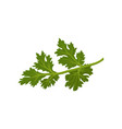 flat icon of fresh green cilantro natural vector image