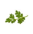 flat icon of fresh green cilantro natural vector image