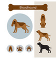 bloodhound dog breed infographic vector image vector image