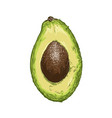 hand drawn sketch half avocado in color vector image