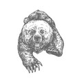 bear attack isolated sketch aggressive animal vector image vector image
