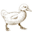 engraving of duckling vector image