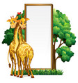 two giraffes and blank whiteboard vector image vector image