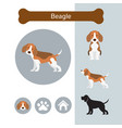 beagle dog breed infographic vector image vector image