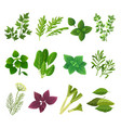 herbs and spices oregano green basil mint spinach vector image vector image