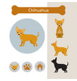 chihuahua dog breed infographic vector image vector image