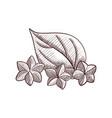 drawing sacha inchi fruits vector image vector image