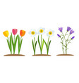spring tulip bluebell narcissus flower vector image