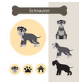schnauzer dog breed infographic vector image vector image